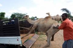 Kameltransport-3-Athiopien